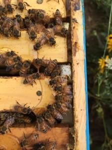 Bees love honey!  (Photo courtesy of Charlotte Hubbard)